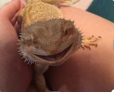 ZOOM with Mr. Pickles the Bearded Dragon